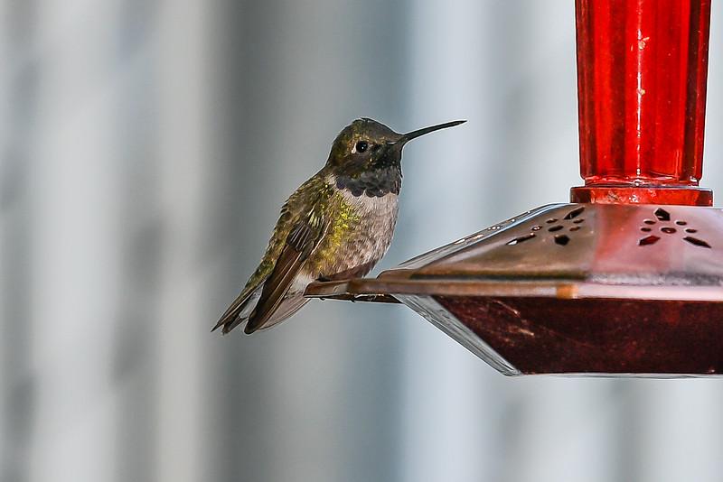 21MayHummingbirds (49 of 53).jpg