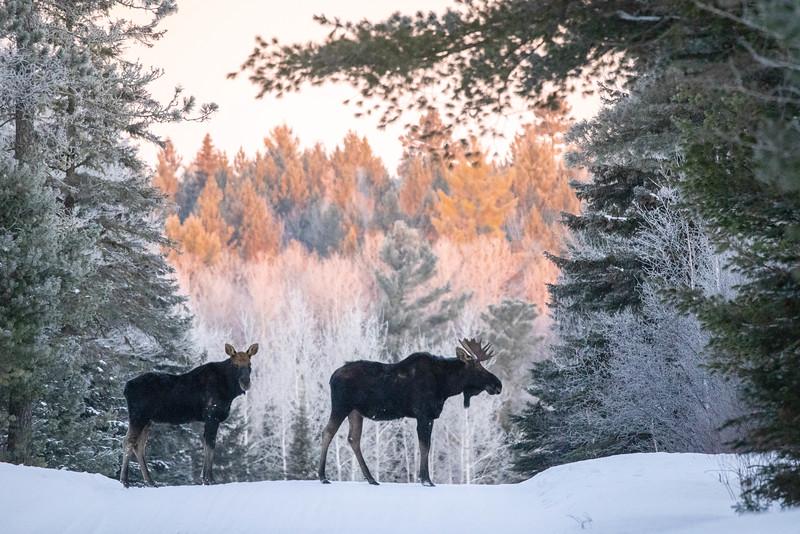 Moose pair bulls Sawbill Trail Cook County MN  IMGC7155.jpg