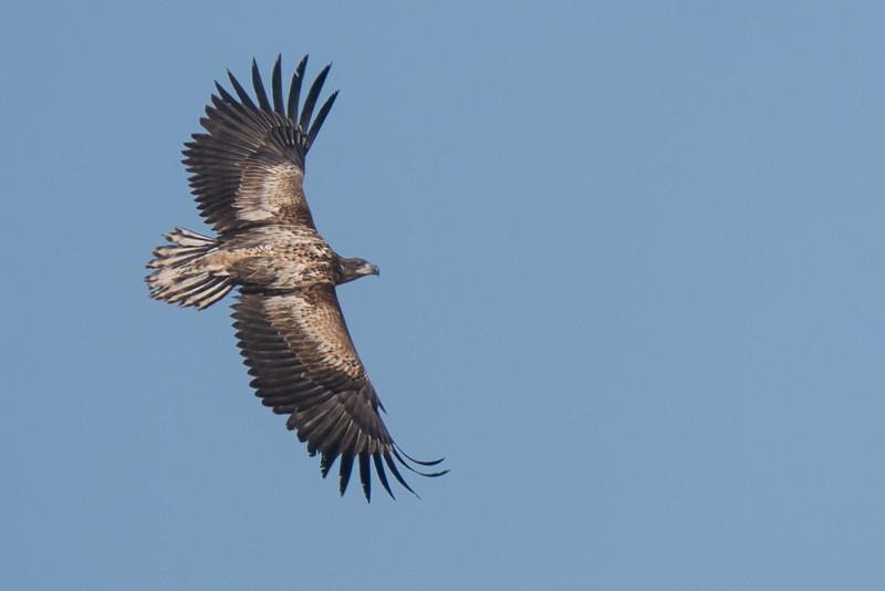 bielik | white-tailed eagle | haliaeetus albicilla