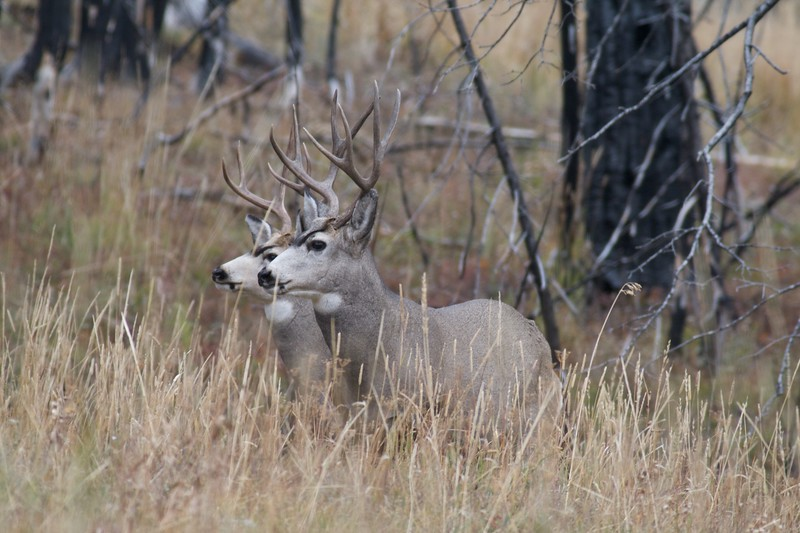 Mule Deer antlers differ from White-tailed Deer antlers in that they branch dichotomously—in V's. White-tails have one main beam with tines coming off it [September; Yellowstone National Park, Wyoming]