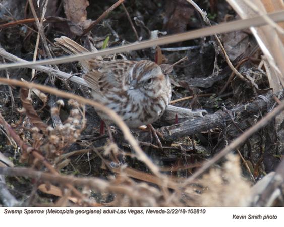 Swamp Sparrow A102810.jpg