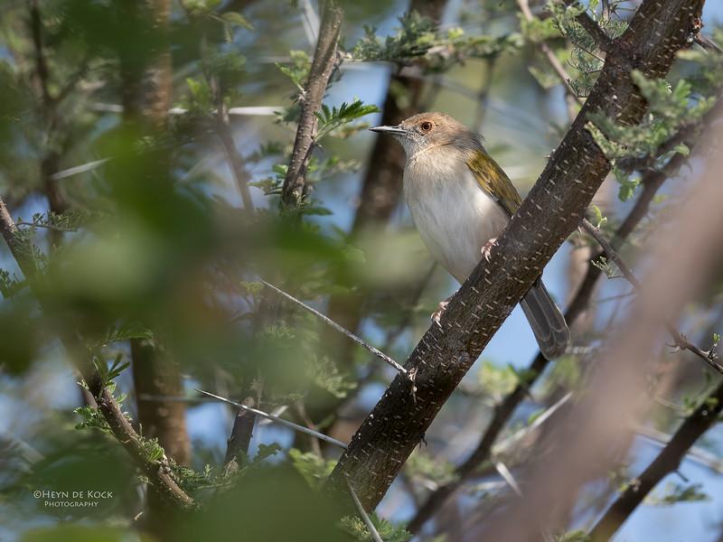 Grey-backed Camaroptera, Mashatu GR, Botswana, May 2017-1.jpg
