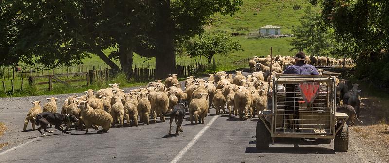 Stau auf der Strasse durch Schafumzug