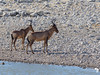 Red Hartebeest at a Waterhole