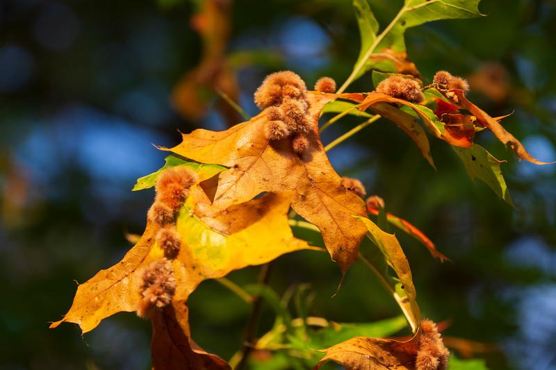 Wasp-galls-2020-pinoakleaf-Ohio2.jpg