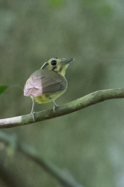 White-throated Spadebill - Record - Osa, Costa Rica