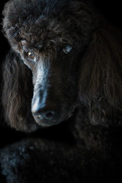 Portraits of a Poodle