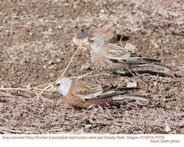 Gray-crowned Rosy-Finches P77759.jpg
