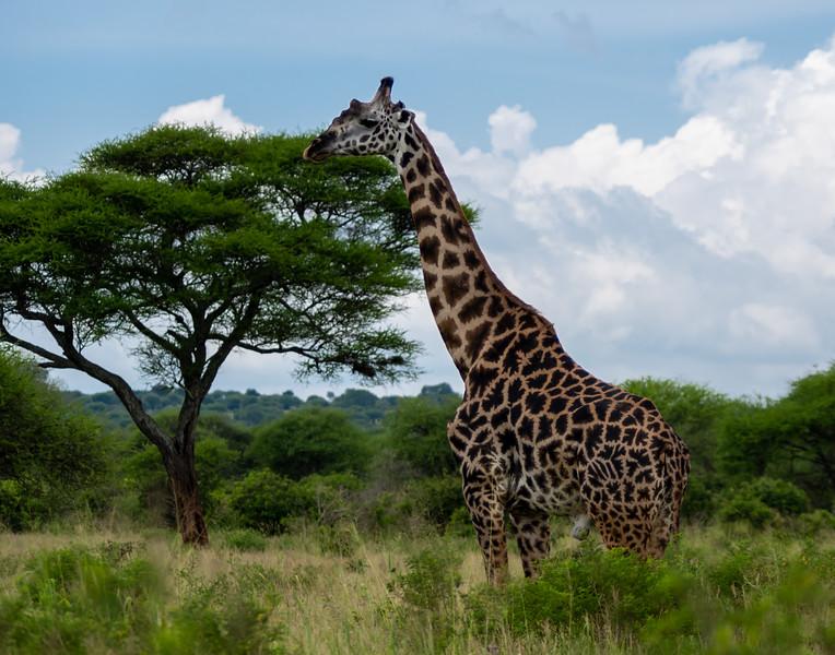 giraffes-104_0214_2099.jpg