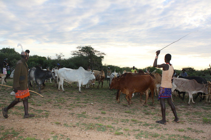 rounding up the bulls