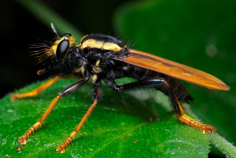 Bee-mimicking robberfly (Laphria sp.?)
