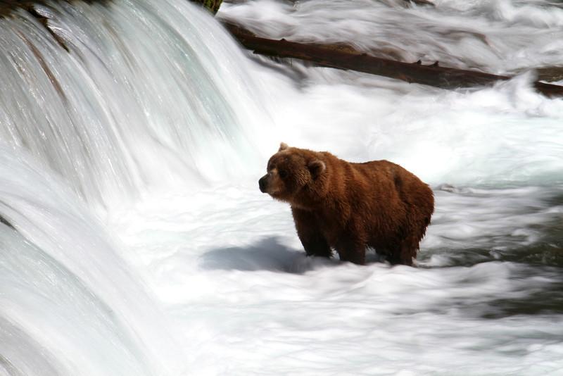 Katmai Bear8.jpg