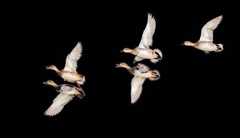 Mallard and gadwall ducks flying side by side