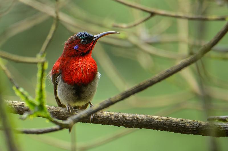 Vigors-sunbird.jpg