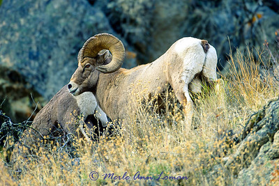 Bighorn Sheep near Sula