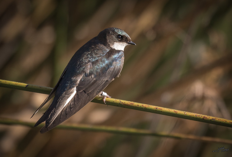 Banded Tree Swallow.jpg