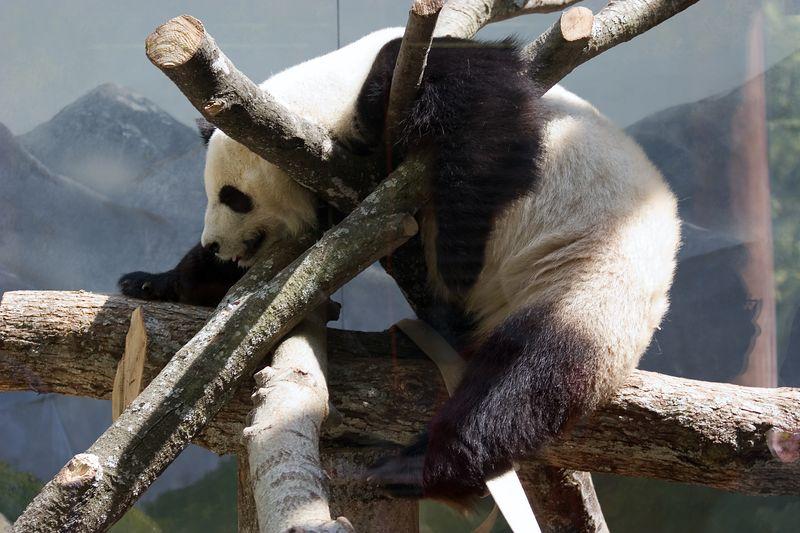 Giant Panda, Female, Lun-Lun,  Ailuropoda Melanoleuca, Zoo, Atlanta, Georgia, USA