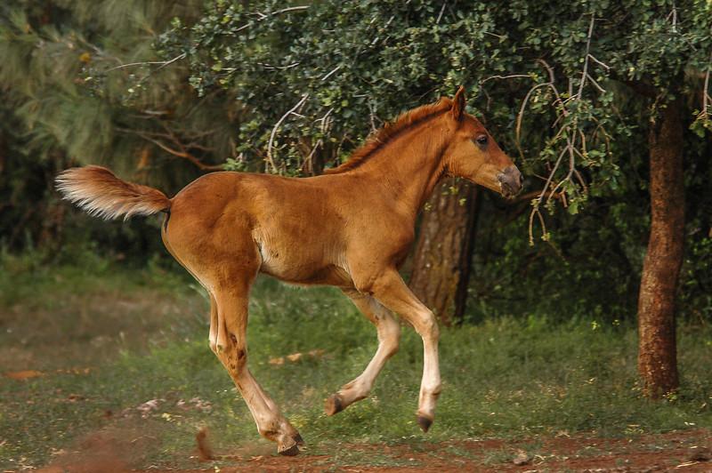 Wild Horse Foal Running #1