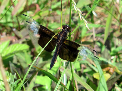Widow Skimmers (Libellula luctuosa)