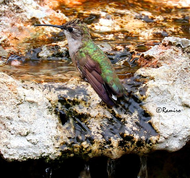Humming bird IMG_1373.jpg