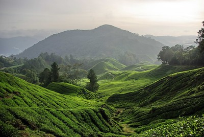 Sugei Balas Tea Plantation, Cameron Highlands