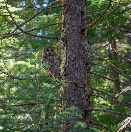 Spotted Owls in Butte County