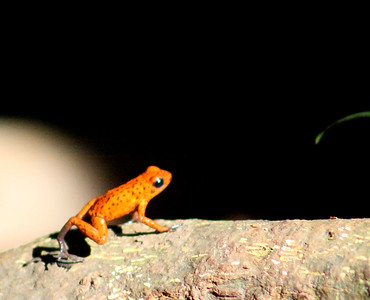 Poison Dart Frog, Strawberry