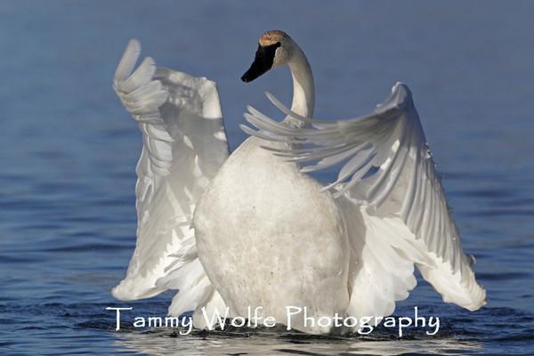 My favorite Trumpeter Swan images