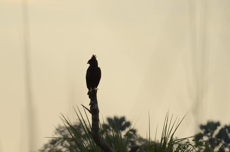104 - Long Crested Eagle - Xigera - Anne Davis