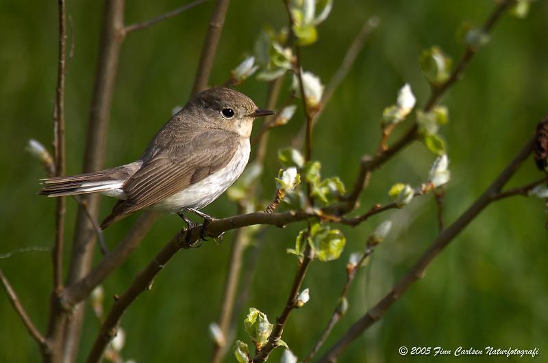 Lille fluesnapper - Ficedula parva - Red-breasted flycatcher