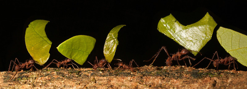 LEAFCUTTER ANT MARCH-EDITED.jpg