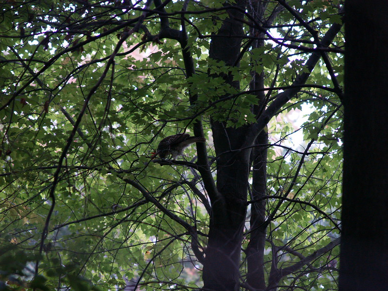 It was difficult to get the hawk. He flew over my head with a mouse.