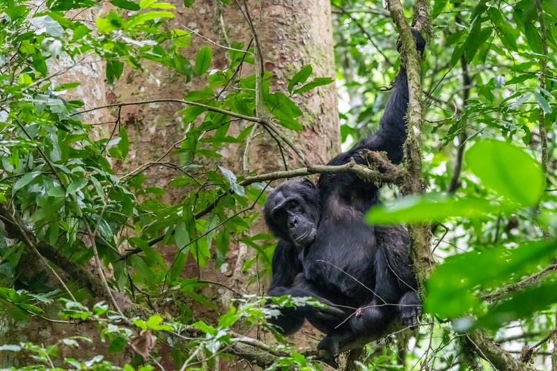 Uganda_T_Chimps-1209.jpg
