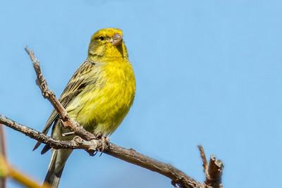 Atlantic Canary ~ Kanariefugl