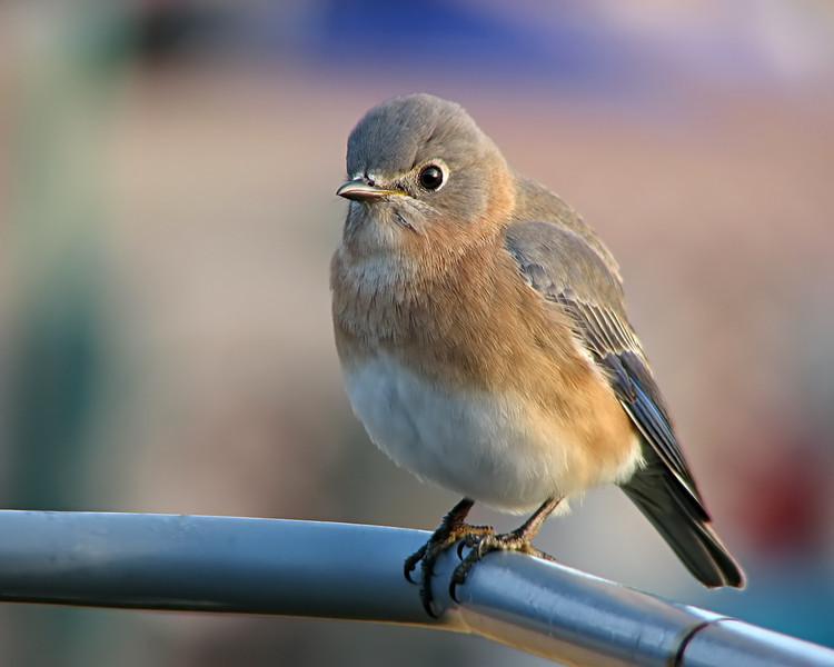 bluebird_1816.jpg