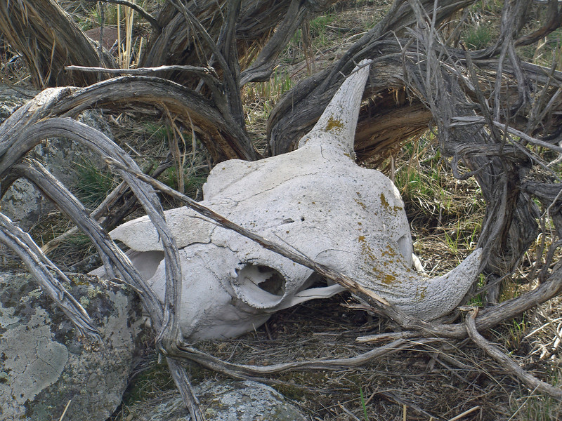 buffalo skull day two.jpg