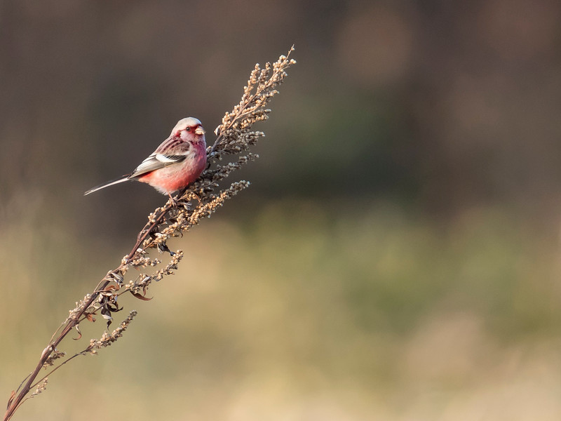 Long-tailed Rosefinch
