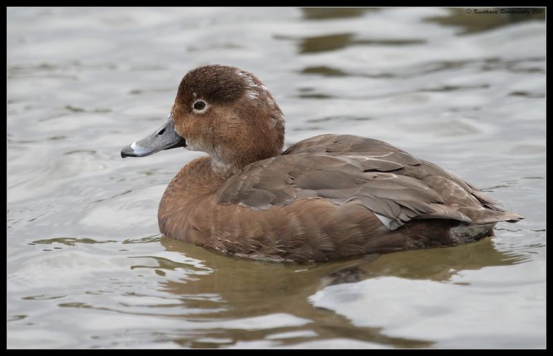 Redhead Duck, Lake Murray, San Diego County, California, March 2010