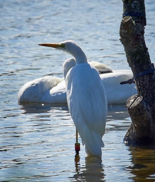 Great Egret at Blashford Lakes