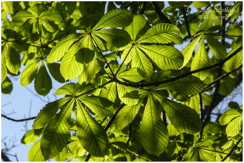 Horse chestnut leaves in sunlight, Kinloch