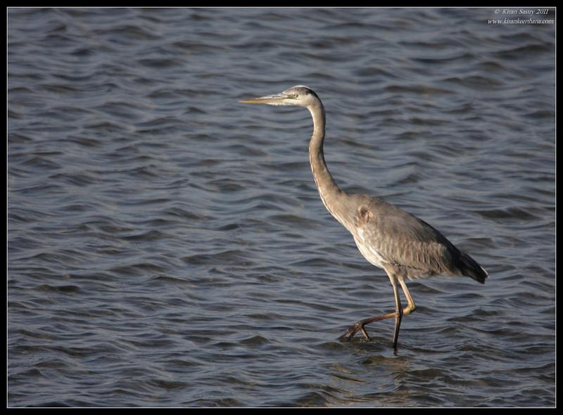 Great Blue Heron, Robb Field, San Diego River, San Diego County, California, April 2011