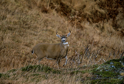 32708 Sitka black-tailed deer