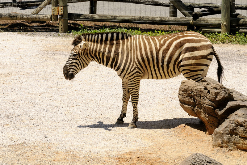 One of the zebras at the Knoxville Zoo in Knoxville, TN on Saturday, June 7, 2014. Copyright 2014 Jason Barnette
