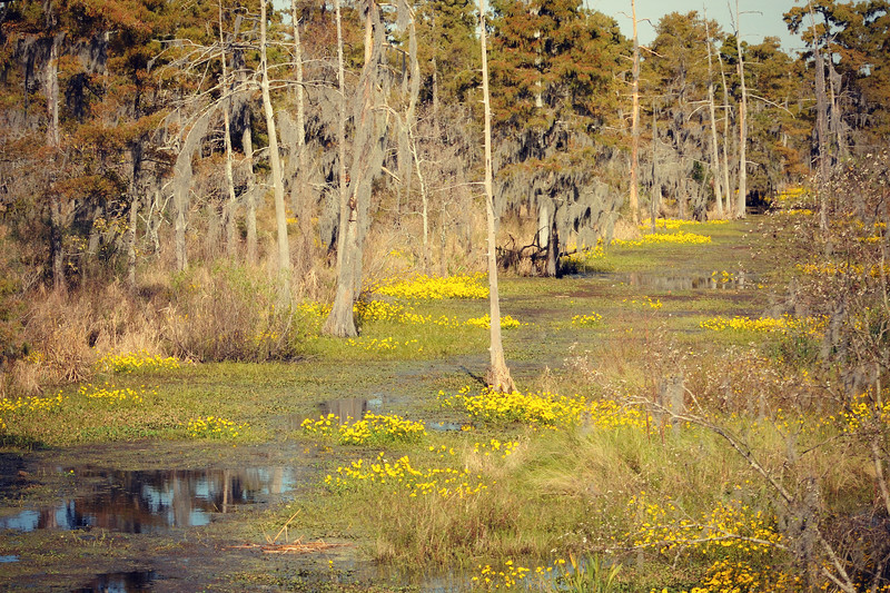 This is our weekend to celebrate my hubby's birthday (58) and our anniversary (33).  We always visit New Orleans with friends.  Today we took a trip to Destrehan Plantation for their Fall Festival.  I always love driving over the swamps on the way there and seeing these yellow beauties blooming.