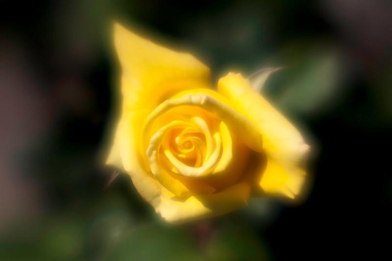 apr 15 - rose.jpg