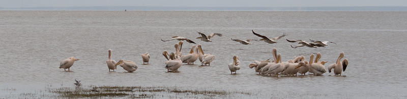 Lake Manyara National Park pelicans-2037.jpg