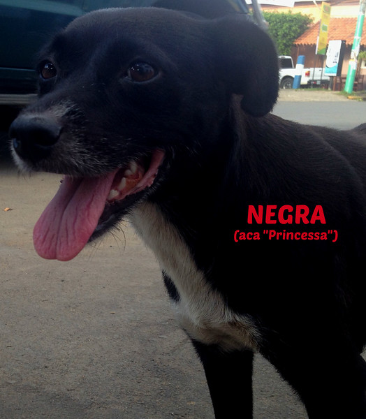 """Negra (my name for her. Her real name is Princessa I found out the last few days I was there) was my #1 street buddy these past 6 weeks in Rivas, Nicaragua.  She is THE SWEETEST baby!!!  But she has the same STD tumor growing out of her vagina that Macha had & that killed her a couple months ago.  I sunk quite a few $$s into her - first just feeding her 2-3 times a day & she wouldn't eat the crunchy dog food - so I'd have to mix it up with liver &/or give her rice of whatever leftovers I could find.  Her front teeth are not much there & you can see by her teeth in the pics, she's got some gum stuff going on.    As I could come into a bit more $$ I would buy medicine for Parasites & Ticks (a BIG problem) & Fleas for the 10-20 street dogs I'd spend 2-4 hours a day feeding.  When it seemed the flea/tick medicine didn't help her (I found out later it wasn't the best/strongest choice but at first I didn't have $$$ to do them all) I took her to the vet to get shots for Parasites, Ticks/flees & vitamins but because of how she moved in the top shot - that got infected.  So I took her to another vet to fix that up & get her the vaccinations a new dog would normally get & got her a bath because she had dried blood always in her backside that attracted flies which made her always trying to get them off. I had no problem catching her to put her on the collar & leash & walking with me & 2 times I was in a Pipano (a bicycle taxi) - one time just stopping to say hi & she jumped right up on it & took a ride with me & she seemed to love it!!  She's VERY GOOD & I think could be easy to train more.  I also paid to get her started on the chemo shots so lets see A) if the vet followed up on them & B) if it helped get rid of it.  If not, when I get back I'll deal with the next step.  She NEEDS to get """"fixed"""" but to do that she needs a Foster Home for a week & they're not big on doing that in Nicaragua - at least I didn't find anyone to do it - yet.  When I get back I will re-connect with"""