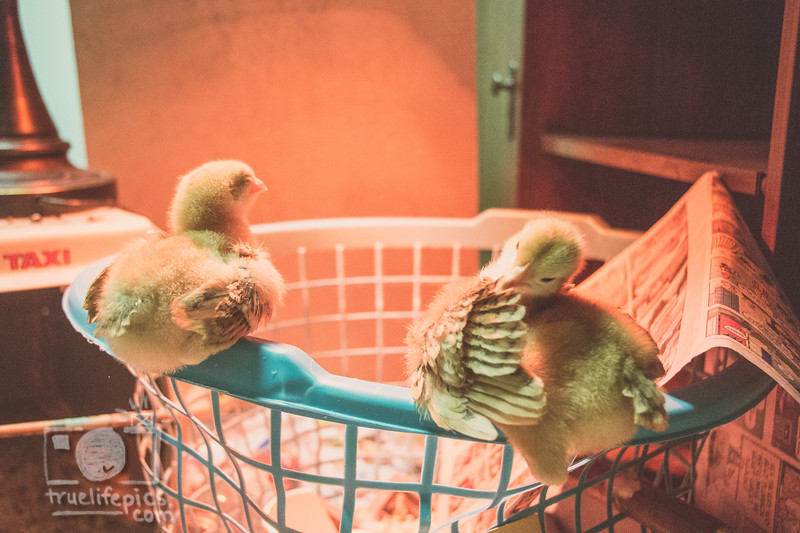March 27, 2017 Chickens in the shop (4).jpg
