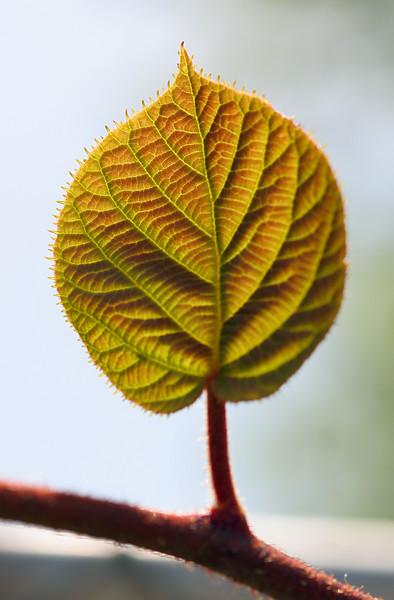 7021 Kiwi Leaf.jpg