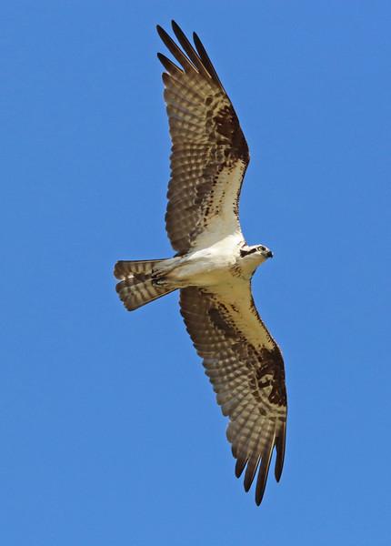 osprey 906.jpg